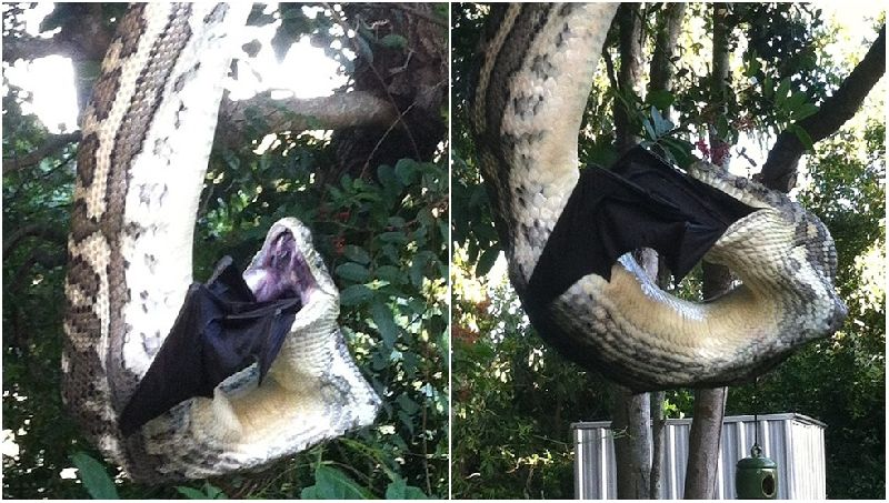 คลิป หาดูยาก! งูเหลือมยักษ์ เขมือบค้างคาว อย่างน่าสยดสยอง
