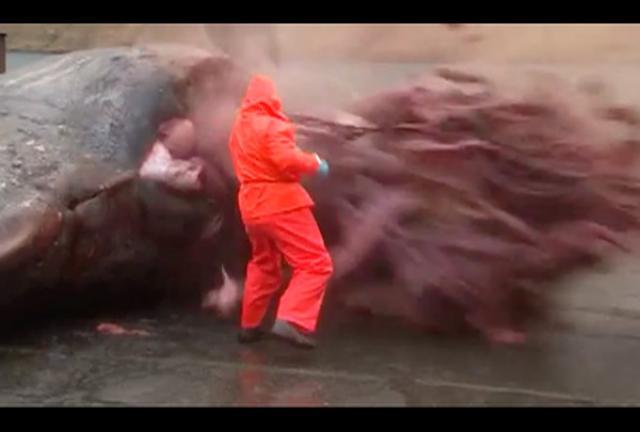 แทบช็อก! คลิประเบิดปลาวาฬยักษ์ ไส้กระจาย