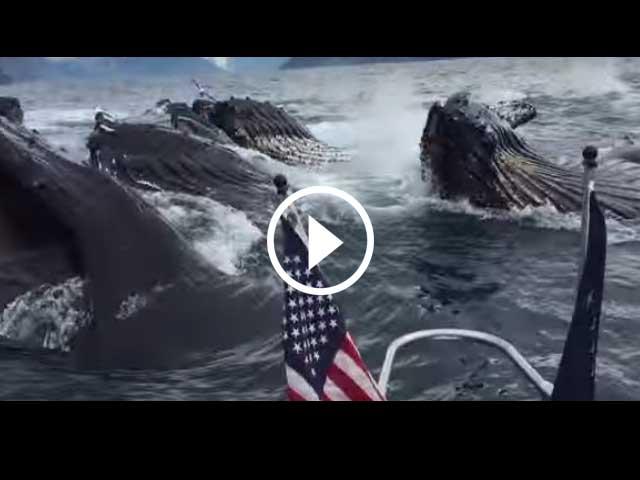 สุดระทึก! วาฬทั้งฝูงรุมสวาปามปลา ข้างๆ เรือ