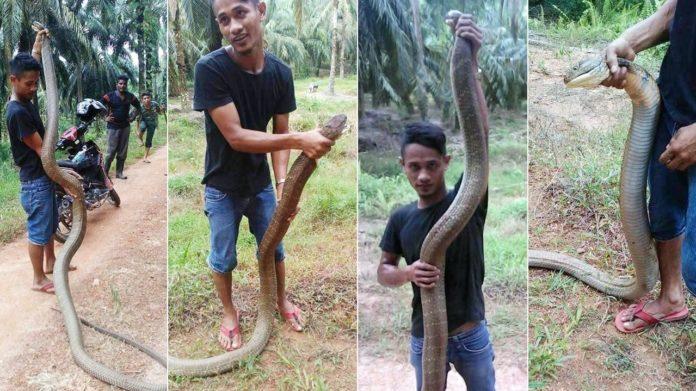 คลิปหนุ่มโชว์จับงูจงอางยักษ์ยาว 7 เมตรด้วยมือเปล่า